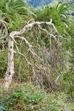 Árvore inoperante nas Ilhas Canárias Foto de Stock