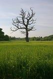 Árvore inoperante no campo Imagens de Stock Royalty Free