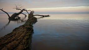 Árvore inoperante no mar Imagens de Stock Royalty Free