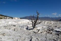 Árvore inoperante no parque Hot Springs de Yellowstone Imagens de Stock