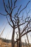 Árvore inoperante no sol Imagens de Stock Royalty Free
