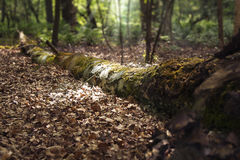 Árvore inoperante que encontra-se nas madeiras Foto de Stock Royalty Free