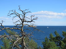 Árvore inoperante, veleiro solitário Imagem de Stock Royalty Free