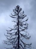 Árvore inoperante velha. Fotografia de Stock Royalty Free