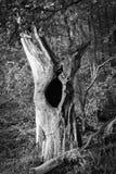 Árvore inoperante velha - preto e branco Foto de Stock Royalty Free