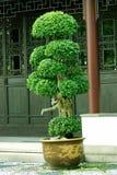 Árvore interna dos bonsais em um potenciômetro Fotos de Stock