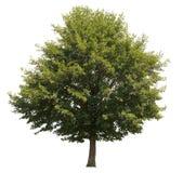 Árvore isolada foto de stock royalty free
