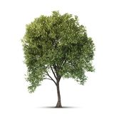 Árvore isolada. Fotografia de Stock Royalty Free
