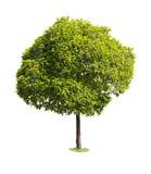 Árvore isolada Fotografia de Stock Royalty Free