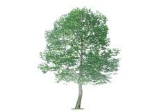 Árvore isolada Imagem de Stock