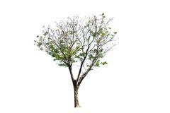A árvore isolada Fotografia de Stock Royalty Free
