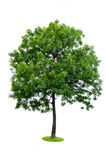 Árvore isolada Fotografia de Stock