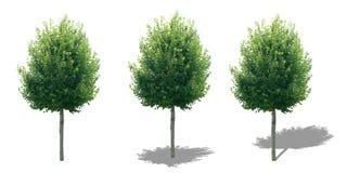 Árvore isolada com sombras Imagens de Stock