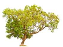 Árvore isolada árvore do cumini do Syzygium Fotografia de Stock