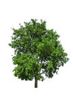 Árvore isolada em um fundo branco Fotos de Stock
