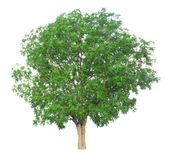 Árvore isolada em um fundo branco com trajeto de grampeamento Fotos de Stock Royalty Free