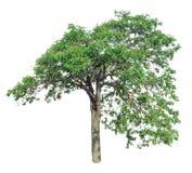 Árvore isolada em um fundo branco com trajeto de grampeamento Fotografia de Stock Royalty Free