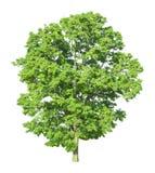 Árvore isolada em um fundo branco com trajeto de grampeamento Fotografia de Stock