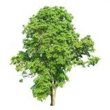 Árvore isolada em um fundo branco com trajeto de grampeamento Fotos de Stock