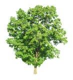Árvore isolada em um fundo branco com trajeto de grampeamento Imagens de Stock Royalty Free