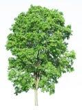 Árvore isolada em um fundo branco com trajeto de grampeamento Foto de Stock