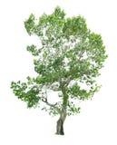 Árvore isolada em um fundo branco com trajeto de grampeamento Imagens de Stock