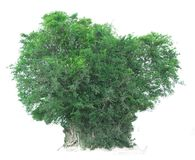 Árvore isolada em um fundo branco com trajeto de grampeamento Foto de Stock Royalty Free