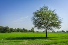 Árvore isolada no campo Imagens de Stock Royalty Free