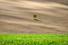 Árvore isolada no campo do tempo de Toscânia na primavera fotografia de stock royalty free