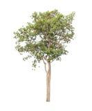 Árvore isolada no fundo branco Fotos de Stock