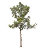 Árvore isolada no fundo branco Foto de Stock Royalty Free