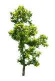 Árvore isolada no fundo branco Fotos de Stock Royalty Free