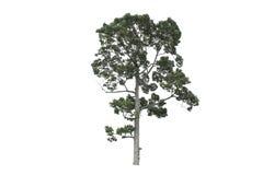 Árvore isolada no fundo branco Foto de Stock