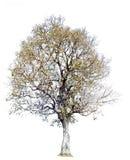 Árvore isolada no fundo branco Objeto da natureza Imagem de Stock