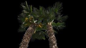 Árvore isolada palma video estoque