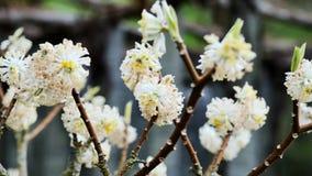 A árvore japonesa começa a florescer Papierbusch de Japanischer video estoque