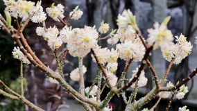 A árvore japonesa começa a florescer Papierbusch de Japanischer filme