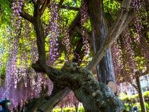 Árvore japonesa de florescência bonita Sakura, fundo com flores em um dia de mola Fotografia de Stock