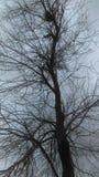 Árvore Leafless Foto de Stock Royalty Free