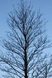 Árvore Leafless fotos de stock