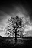 Árvore Leafless Fotografia de Stock Royalty Free