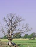 Árvore Leafless fotos de stock royalty free