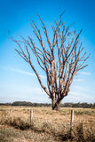 Árvore Leafless, Brasil Fotografia de Stock Royalty Free