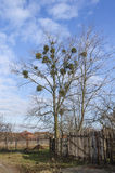 Árvore Leafless com visco Imagem de Stock