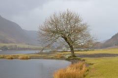 Árvore Leafless pelo lago Fotos de Stock