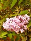 Árvore lilás Foto de Stock Royalty Free