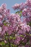 Árvore lilás Imagem de Stock