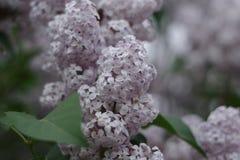 Árvore lilás Fotografia de Stock
