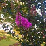 Árvore lilás bonita no por do sol fotografia de stock