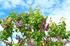 Árvore lilás roxa Imagem de Stock Royalty Free